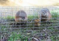 Limiter la prolifération des rats